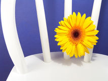 Gelbes Gerbera-Gänseblümchen Stockfotos