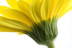 Gelbes Gerbera-Gänseblümchen Lizenzfreies Stockbild