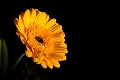 Gelbes Gerberra-Gänseblümchen Lizenzfreie Stockbilder