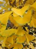 Gelbes-Ginko biloba lässt Grünes eingefaßt - Baumblattniederlassungen stockfotos