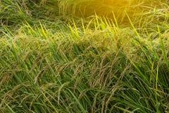 Gelbes Gold des Feinporigkeitsreises Stockbilder