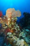 Gelbes gorgonia über dem korallenroten Garten in Ras Mohammed nationales p lizenzfreie stockbilder