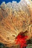 Gelbes gorgonia mit roter weicher Koralle lizenzfreies stockfoto
