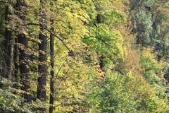 Gelbes Grün des Herbstes Wald Stockbild