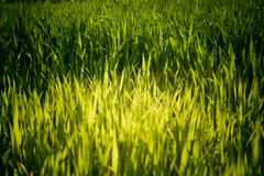 Gelbes grünes Gras Stockfoto