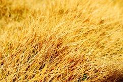 Gelbes Gras stockbilder