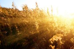 Gelbes Gras des Herbstes Lizenzfreie Stockbilder