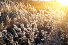 Gelbes Gras des Herbstes Stockfoto