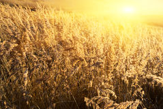 Gelbes Gras des Herbstes Lizenzfreie Stockfotos