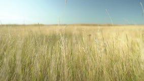 Gelbes Gras im Wind stock footage