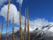 Gelbes Gras sät das Wachsen vor einem Gebirgszug und dem Himmel stockfoto