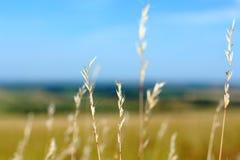 Gelbes Gras und blaue Himmel Stockfotos