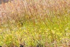 Gelbes Gras und Blume in der Wiese Stockbild