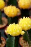 Gelbes Gymnocalycium mihanovichii Das Hobby, das mit vielen des Sprösslingskaktus im Kindertagesstättengarten für Verkauf im Gart Stockfotos