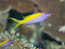 Gelbes Heck Anthias Stockfoto