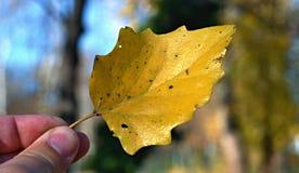 Gelbes Herbstblatt Stockfoto