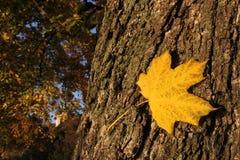 Gelbes Herbstblatt auf Baum Stockbild