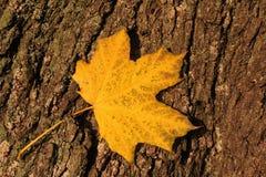 Gelbes Herbstblatt auf Baumbarke Lizenzfreie Stockfotos