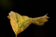 Gelbes Herbstblatt auf schwarzem Hintergrund Stockbild