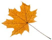 gelbes Herbstblatt des Ahornbaums lokalisiert Stockfotos