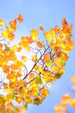 Gelbes Herbstlaub Stockbilder