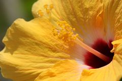 Gelbes Hibiscus-Staubgefäß Lizenzfreies Stockbild