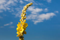 Gelbes Honigkleeblumenkraut am Hintergrund des blauen Himmels, Nahaufnahme Stockfotos