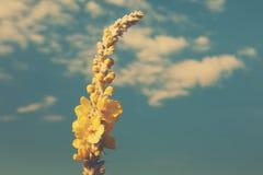 Gelbes Honigkleeblumenkraut am Hintergrund des blauen Himmels, Nahaufnahme Lizenzfreies Stockbild