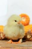 Gelbes Huhn Lizenzfreies Stockbild