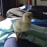 Gelbes Huhn Stockbild