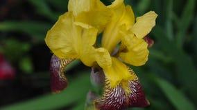 Gelbes irise, das den Wind weitergeht Videoaufnahmen HD Statickamera stock video footage