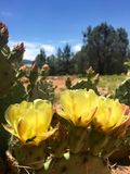 Gelbes Kaktusblumenblühen Stockfotos