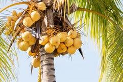 Gelbes Kokosnussbündel, das im Baum hängt Stockbilder
