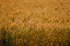 Gelbes Korn auf StammFeldfrüchtebeschaffenheit Lizenzfreie Stockfotografie