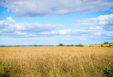 Gelbes Korn bereit zum Erntewachsen Stockbilder