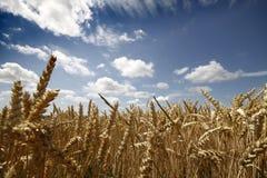 Gelbes Korn bereit zur Ernte Lizenzfreies Stockbild
