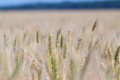 Gelbes Korn bereit zur Ernte Lizenzfreie Stockfotografie