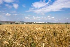 Gelbes Korn bereit zur Ernte, die auf einem Bauernhofgebiet wächst Foto gemacht auf 01 Lizenzfreies Stockfoto