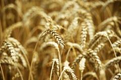 Gelbes Korn bereit zur Ernte, die auf einem Bauernhofgebiet wächst Foto gemacht auf 01 Stockfoto
