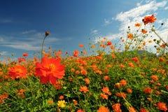 Gelbes Kosmosblumenfeld mit Berg Lizenzfreies Stockfoto