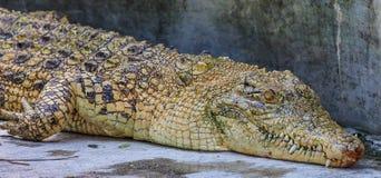 Gelbes Krokodil Stockbilder