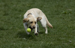 Gelbes Labor, das Tenniskugel jagt Lizenzfreie Stockfotos
