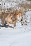 Gelbes Labrador-Apportierhund-Zeigen Lizenzfreie Stockfotografie