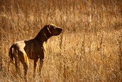 Gelbes Labrador auf den weißen Hintergründen Lizenzfreies Stockbild
