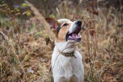 Gelbes Labrador auf den weißen Hintergründen Lizenzfreie Stockfotos