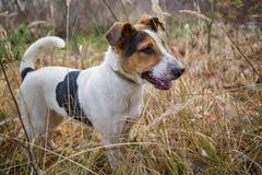 Gelbes Labrador auf den weißen Hintergründen Lizenzfreies Stockfoto