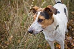 Gelbes Labrador auf den weißen Hintergründen Stockbilder