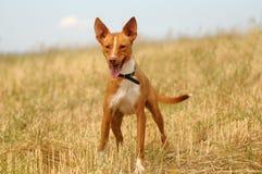 Gelbes Labrador auf den weißen Hintergründen Lizenzfreie Stockbilder