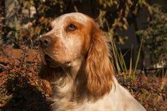 Gelbes Labrador auf den weißen Hintergründen Lizenzfreie Stockfotografie