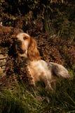 Gelbes Labrador auf den weißen Hintergründen Stockbild
